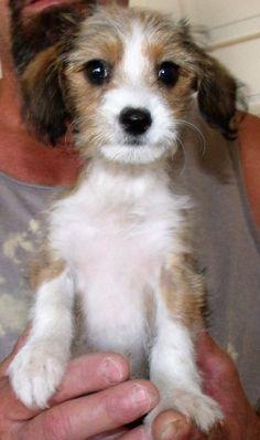 Dallas, TX - Standard Schnauzer/Wirehaired Fox Terrier Mix. Meet ...