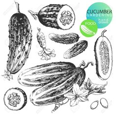 vintage illustrations of cucumbers - Google Search