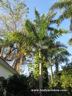 Beautiful palm trees at the Negril Yoga Center gardens, Negril, Jamaica