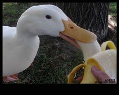 ULTIMATE list of DUCK Treats and Supplements. The ULTIMATE list of DUCK Treats and Supplements.good to know for trips to the duck pond since they say the geese are eating too much bread. Backyard Ducks, Backyard Farming, Chickens Backyard, Pet Ducks, Baby Ducks, Raising Ducks, Raising Chickens, Canard Coop, Duck Pens