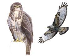 Vogelbescherming Nederland   Detailpagina