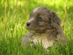 """Blue merle Aussiedoodle """"Dexter""""  from www.pinewoodcavapoos.com Find us on Facebook as Pinewood Kennels"""