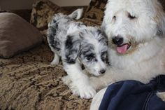 220 Best Aussiedoodles Images Puppies Dogs Animals