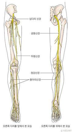 대퇴신경(넓적다리신경) 좌골신경(궁등신경)