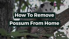 In countries like Australia, Possum often enters in people's backyard, garages, home's roof and sometimes even enter inside the houses which creates a lot of nuisance and majority of people don't have a proper solution for Possum Removal.  In this video, we will explain everything in brief from what are possums, their types, a sign of infestation, best Solutions to remove them and in last will tell you some Homemade Natural Repellent of Possums. How To Get Rid, How To Remove, Garages, Pest Control, Brisbane, Countries, Told You So, Backyard, Houses
