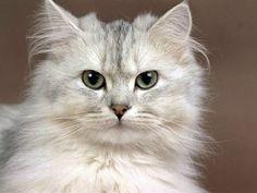 Amar witte  Perzische kat....digitaal schilderen