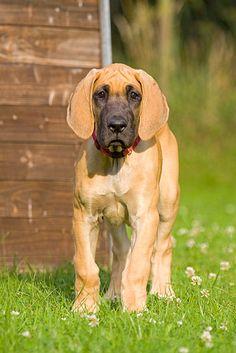 gelbe deutsche dogge | deutsche dogge welpe stehend bildname deutsche dogge 18 ein deutsche ...
