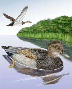 39. Gadwall - Whatbird.com
