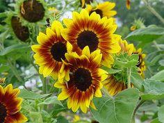Výsledok vyhľadávania obrázkov pre dopyt sunflower