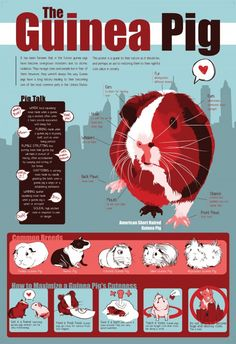 everything-you-need-to-know-about-guinea-pigs-infographic