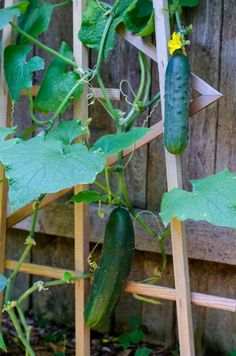 growing cucumbers vertically in an urban garden - Here are some facts about cucumbers you probably didnt know.