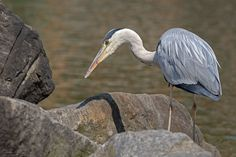 https://flic.kr/p/URThMt | Airone Cenerino // Grey Heron | Please don't use this image without my explicit permission. © All rights reserved Christian P.