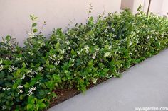 Star Jasmine has glossy foliage & sweetly scented flowers. It's versatile & can be trained in many ways. Here's how to care for & grow Star Jasmine. Jasmine Ground Cover, Star Jasmine Vine, Jasmine Plant, Jasmine Jasmine, Small Shrubs, Jade Plants, Sun Plants, Ground Cover Plants, Hedges