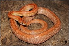Corn Snake, Terrazzo, Snakes, A Snake, Snake