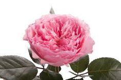 #Mayra. Order them online @ www.parfumflowercompany.com or go visit your florist.