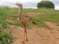 The Seriema birds are the sole extant members of the small and ancient clade Cariamidae. The Seriemas are large, long-legged terrestrial birds that range from 70 to 90 cm. They live in grasslands, savanna, dry woodland and open forests of Brazil, Bolivia, Argentina, Paraguay and Uruguay. There are two species of seriemas, the Red-legged Seriema (Cariama cristata) and the Black-legged Seriema (Chunga burmeisteri).