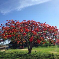 Flamboyán-Puerto Rico 2014