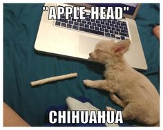 """""""Apple-head"""" Chihuahua.   Jax loves sleeping on my MacBook when I'm trying to get work done. My chihuahua puppy!"""