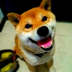 (via #shiba #shibadog #dog #柴犬 #犬バカ部 #柴 #dogstagram #shibastagram)