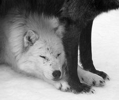 It is said that a wolf can hear a cloud pass silently overhead...