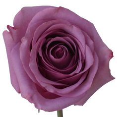 Fiftyflowers.com - Cool Water Lavender Rose - 50 Roses for $109.99