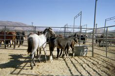 WILD MUSTANGS AT A BLM ADOPTION SITE