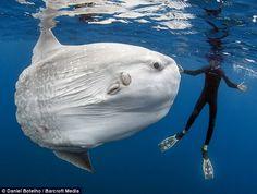 Você sabia que sunfish oceano, ou Mola Mola, são os mais pesados peixes ósseos no mundo? O fotógrafo Daniel Botelho capturou estas belas imagens do inusitado peixe de vista.