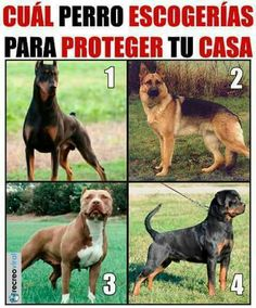 Para proteger tu casa, cual escogerias. Mayo 21, 2017. Rottweiler, Memes, Dogs, Animals, Mayo, Lima, Facebook, House 2, I Will Protect You