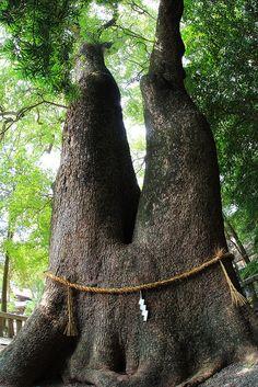 Japan Awesome Japan / Forked big camphor tree, Izanagi shrine, Awaji island, Japan watch the trees they tell us about the land Awaji Island, Old Trees, Unique Trees, Tree Trunks, Big Tree, Nature Tree, Tree Forest, World Best Photos, Tree Of Life