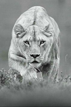 lioness attack
