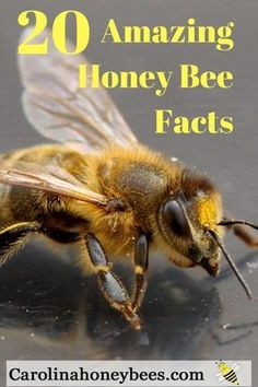 Amazing Honey Bee Facts that you want to know. So many wonderful things to learn about honey bees. Fun for the new beekeeper or any bee lover. #bees #beekeeping #honeybeefacts