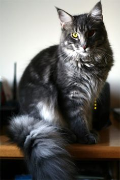 Beautiful Maine coon cat. I miss mine.