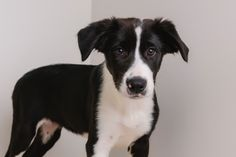 Border-Aussie dog for Adoption in Eden Prairie, MN. ADN-636684 on PuppyFinder.com Gender: Female. Age: Baby