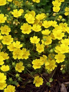 Potentilla Neumanianna -- evergreen mat of shiny, deep green leaves with yellow flowers in spring and summer ~ Bluestone Perennials Flowers Perennials, Planting Flowers, Flowers Garden, Fall Planting, Yellow Flowers, Wild Flowers, Yellow Plants, Rock Garden Plants, Garden Walls