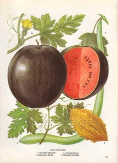 Vintage Fruit Botanical Print, Food Plant Chart, Art Illustration, Kitchen Decor Series, Watermelon