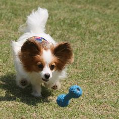 papillon. Oh those ears!