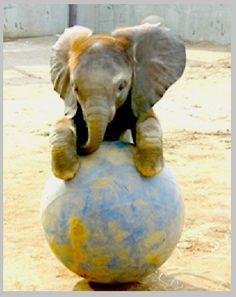 Top oynayan yavru Fil