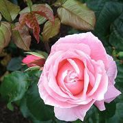 Un parfum de fleurs favorise de bons rêves