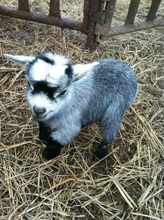 never seen such a cute baby goat!
