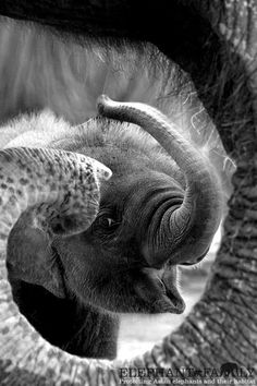 Schwarzweiss-Tierfotografie - Foodie Travel - Black And White Animal Photography - Belt DIY Ideas - DIY Hairstyles Easy - DIY Decor Tutorials Animals And Pets, Baby Animals, Cute Animals, Animal Babies, Amazing Animals, Animals Beautiful, Elephas Maximus, Baby Elefant, Elephants Never Forget