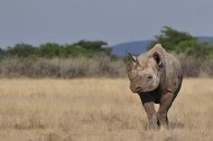 De desertos a florestas, o rinoceronte-negro (Diceros bicornis) pode sobreviver em habitats totalmente diferentes. O animal prefere as savanas africanas, onde se alimenta de folhas de acácias e plantas herbáceas. Os chifres dos animais – feitos de queratina (mesma substância encontrada em nossas unhas) – são utilizados na medicina chinesa para o tratamento de doenças, incluindo o câncer. A população da espécie sofreu uma redução de 98% entre 1960 e 1995. Espécie criticamente ameaçada.