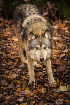"wolfsheart-blog: "" Kiva the Gray Wolf By Jay Huron - caseSensitive Photos """