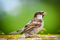 Kostenloses Bild auf Pixabay - Spatz, Tier Portrait, Vogel