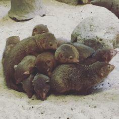 A big ole mongoose pile at Prospect Park Zoo. Prospect Park Zoo, Mongoose, Peaceful Places, York, Big