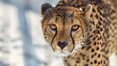 Zapatrzony, Gepard
