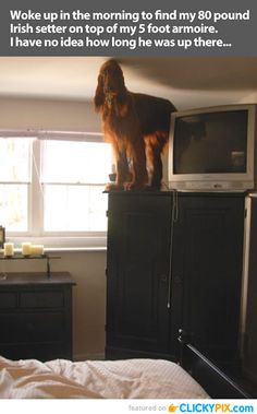 This is really what life with an Irish Setter is all about