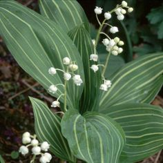 CONVALLARIA MAJALIS VARIEGATED SEEDS (LILY-OF-THE-VALLEY VARIEGATA)