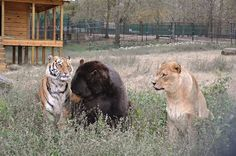 Shere Khan the 350lb tiger, Leo the 350lb lion and Baloo the 1000lb bear, recovered in a drug bust in 2001, have been living together ever since at Noah's Ark Animal Rescue Center, in Georgia, USA - 'They eat, sleep and play together.'  'As they treat each other as siblings they will lie on top of each other for heat and simply for affection.