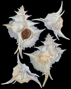 """Chong Chen Siratus alabaster (Reeve, 1845) MURICIDAE -200~300m, By tangle net, Panglao Island, Bohol, Philippines, 163.4mm, F++ The """"Alabaster Murex"""" is a large and elegantly frilled muricid ranging from southern Japan to Philippines. It was first discovered by Hugh Cuming during his famous trip to the Philippines from 1836~1839"""