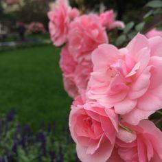 ABC rozmnażania róż – ZIELONE POGOTOWIE BLOG
